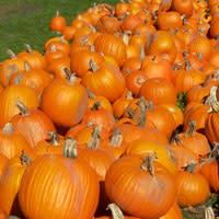 Pumpkin Harvest by Guenther Fuernsteiner