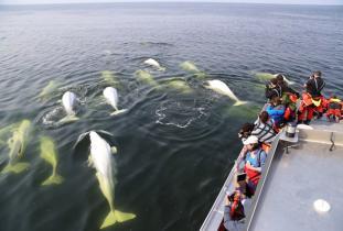 Gangler's Zodiac Beluga Whale Tours