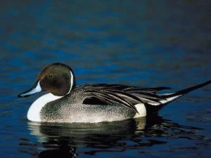 Pintail Duck along the waterways of Creole Nature Trail.