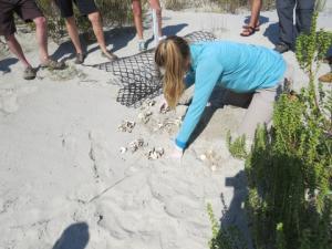 Little St. Simons Island nest excavation