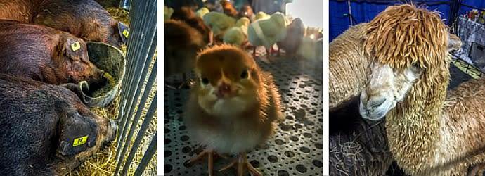 PA Farm Show Animals