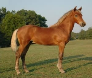 Silver Morgan horse