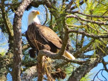 Image of a bald eagle in the wild in the Golden Isles - Raleigh Nyenhuis