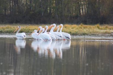 Pellicans at Campbell Lake