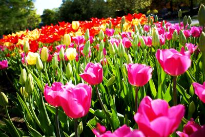 Tulips on a Sunny Day