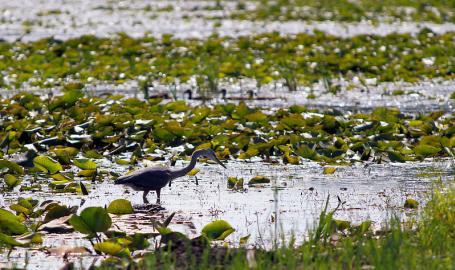 Indiana Dunes National Lakeshore Long Lake Blue Heron