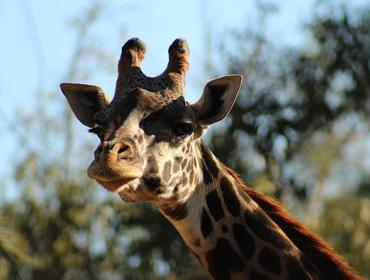 Celebrate Giraffes Day