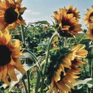 Johnson's Sunflower Festival