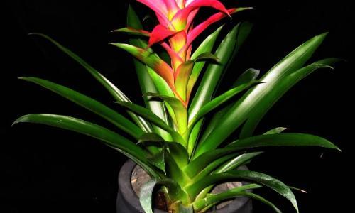 Bromeliad Rotation, Pink