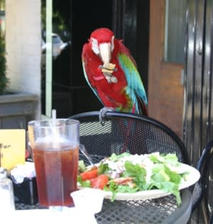 Scarlet Macaw lunching