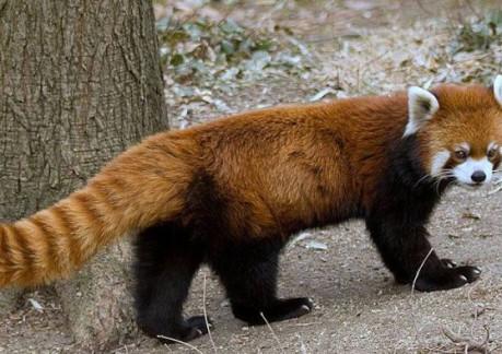 2296P4red-panda-missing_1448046113549_514527_ver1.0.jpg
