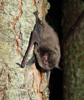 Learn about the Myotis Sodalis Indiana bat!
