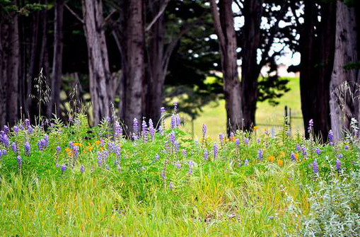Lupine in Monterey