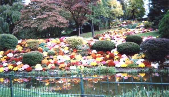 mums and pond.jpg