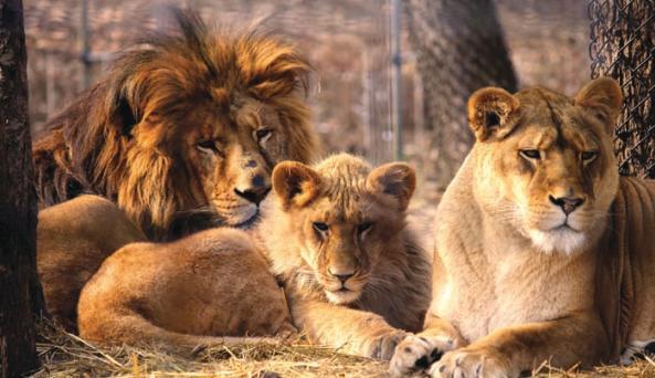 lions3