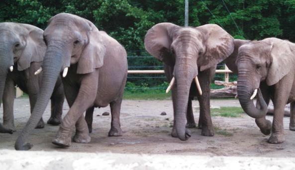 African Elephants at Seneca Park Zoo (photo credit Lindsay Brinda)