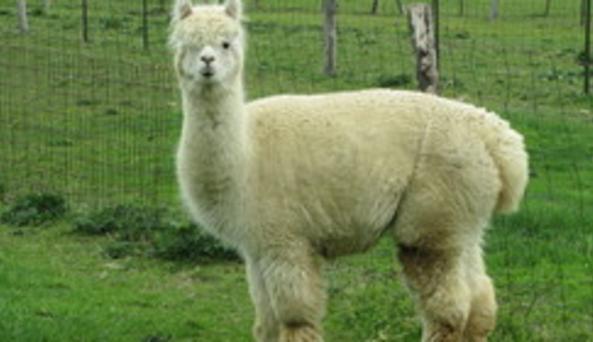 Hy-Haven Farm Alpaca