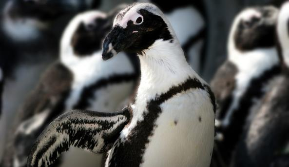 African Penguin at Seneca Park Zoo (photo credit Joe Territo)