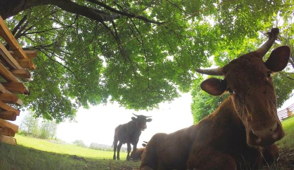 Heritage Breed Red Devon Cattle (We have chickens, too!)