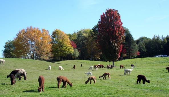lazy-acre-alpacas-bloomfield-alpacas-fall