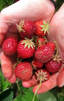 U-pick Strawberries by Kelsey Ivey