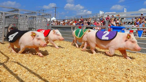New York State Fair - Racing pigs