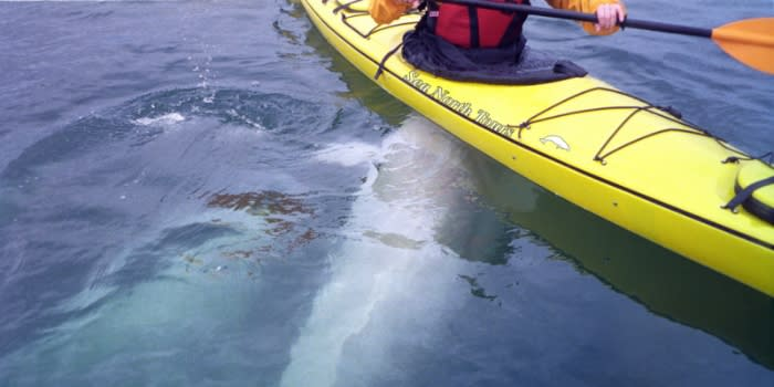 Two beluga whales swim directly underneath a person in a yellow kayak