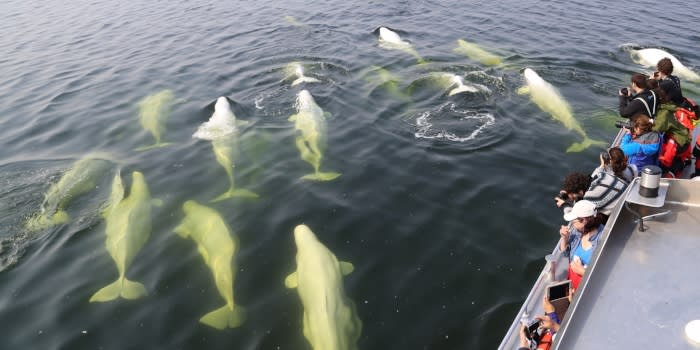 People stand at the rail on the edge of a boat looking at the water as a dozen belugas swim by