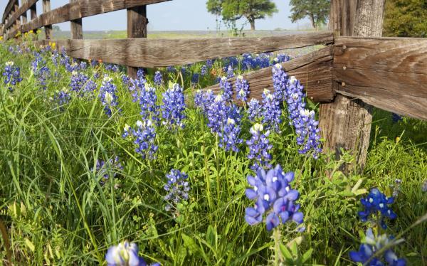 Field of Bluebonnets