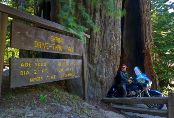 Drive Through a Redwood