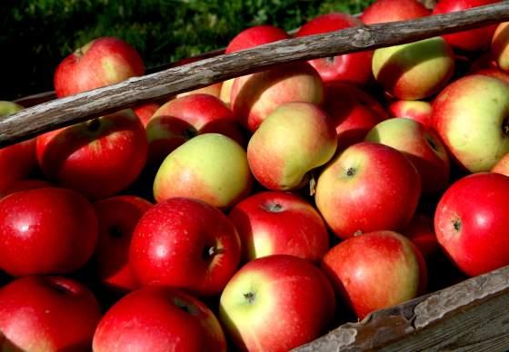 Apple Festival / Norwegian Museum of Horticulture