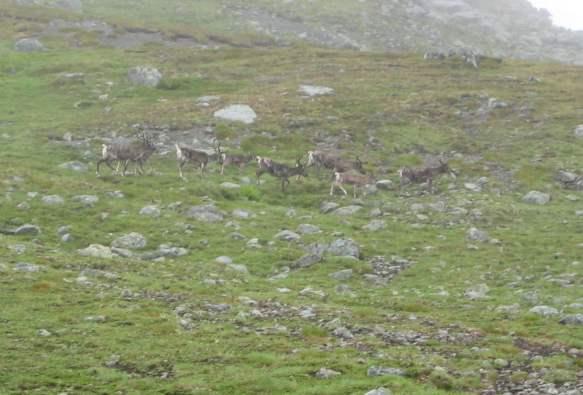 Vårflytting med reindrifts samer