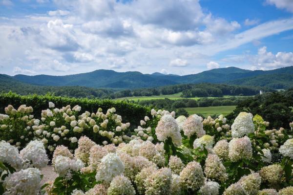 Pippin Hill Hydrangeas