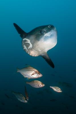 Mola Mola Sunfish