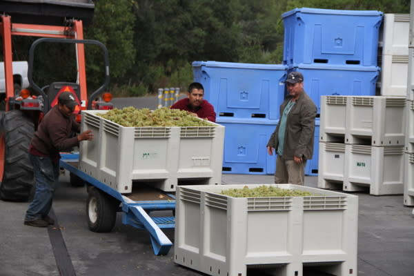 Mayo Winery Harvest