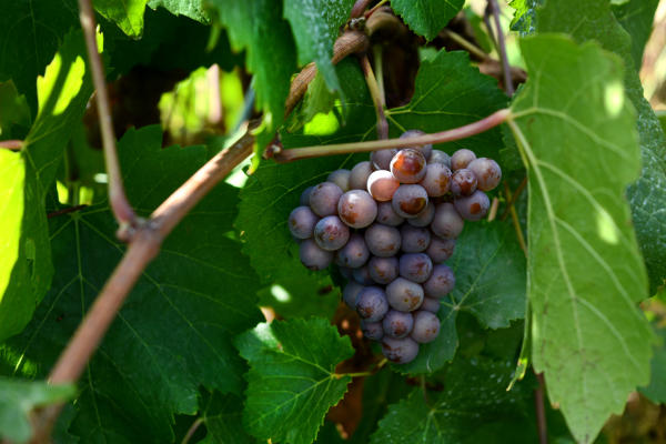 Grapes at Pfeiffer Vineyard