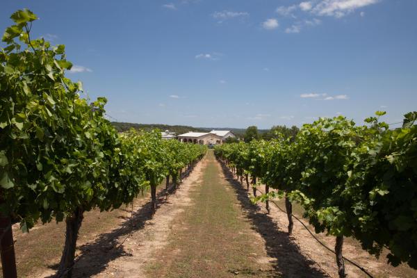 Vineyard Row at Flat Creek Winery and Vineyard