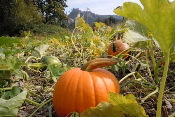 Pumpkin at Northern Lights Christmas Tree Farm by Eugene, Cascades & Coast