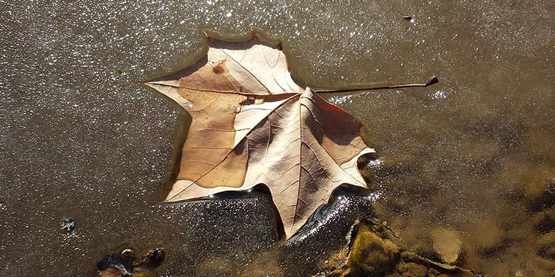 BC Leaf