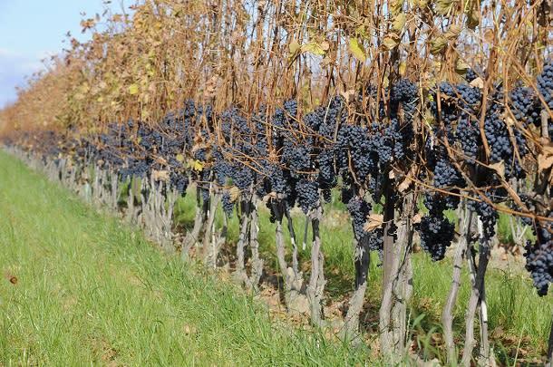 fall harvest grapes