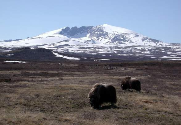 Rambling in Dovrefjell National Park - Along the Pilgrim´s Trail with luggage transfer | Discover Norway