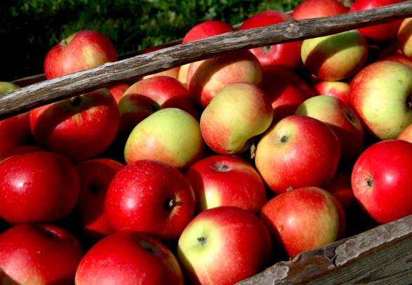Apple Festival at Norwegian Museum of Horticulture