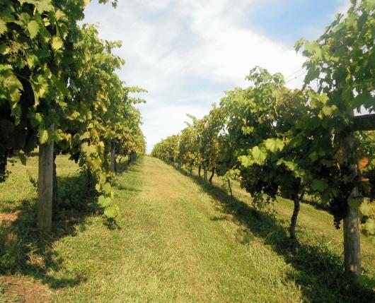 Pinnacle Ridge Winery - rows of vines