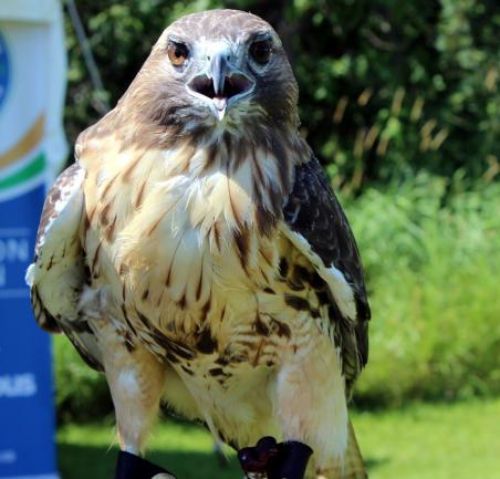 R2 the Red-tailed Hawk from Wildlife Haven Rehabilitation Centre.