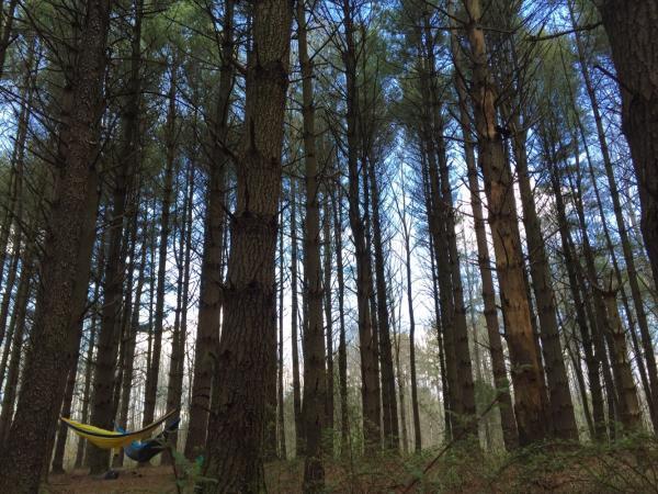 yellowood state forrest hammock