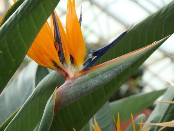 Bird of Paradise Flower at the Foellinger-Freimann Botanical Conservatory