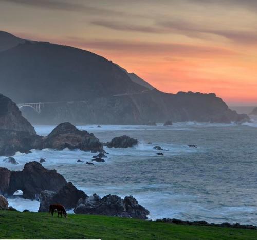 Grazing Cattle in Big Sur