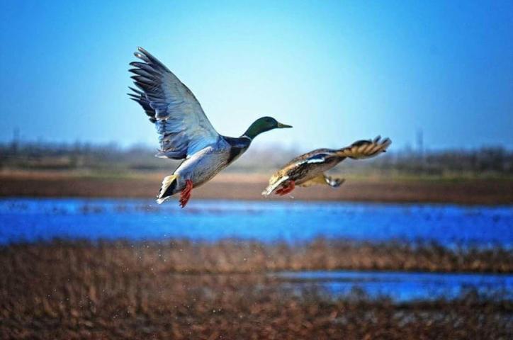 Ducks in Flight   SWLA Tours, Inc.