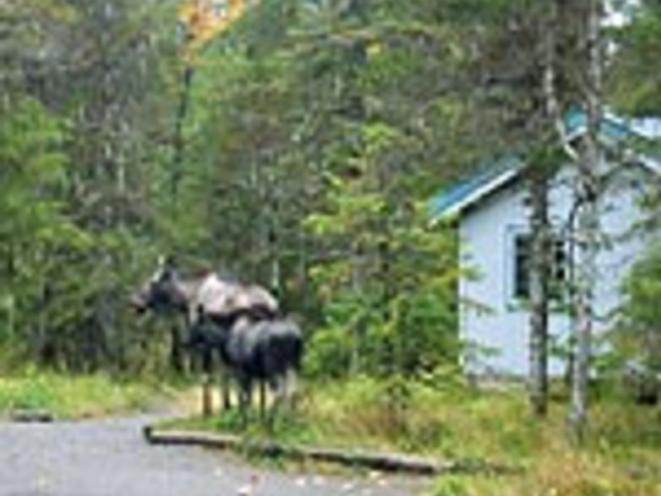 Moose near cabin