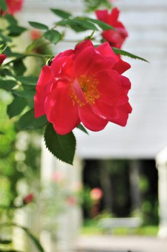 Rose with blurred pergola in the background at Yaddo Gardens